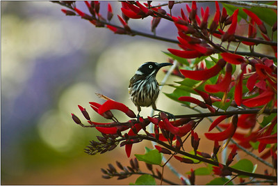 New Holland Honeyeater - Martin Yates Fourth place members' choice