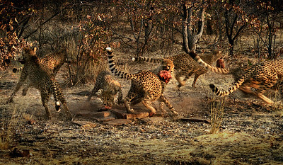 Cheetahs - Jo Rollinson Sixth place members' choice