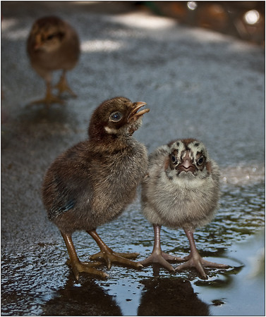 A Couple of Chicks - Martin Yates<br /> Third Place members' choice and second place judge's choice