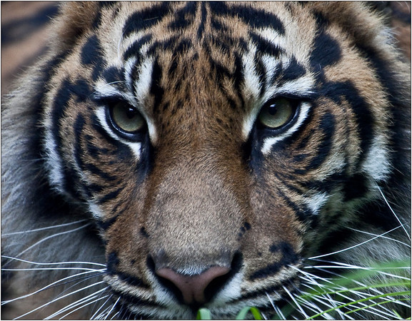 Tigress Cub - Sheila Burrow<br /> Equaly second place judges choice and equal fifth place members' choice.