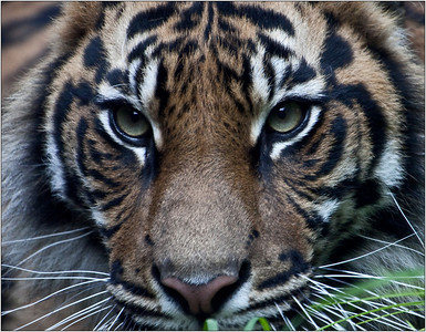 Tigress Cub - Sheila Burrow Equaly second place judges choice and equal fifth place members' choice.