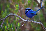 Blue Wren - Sheila Burrow<br /> Fourth place members' choice.