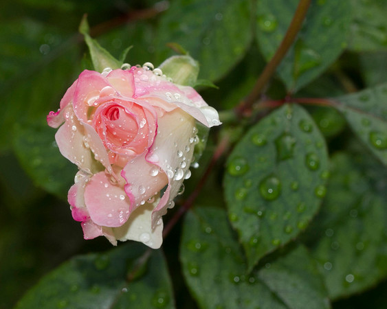 Wet Rose - Richard Williams<br /> First place Judge's choice