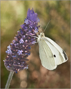 Cabbage Butterfly - Martin Yates Second place judge's choice
