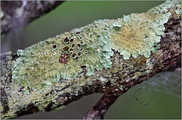 Lichen World - Sheila Burrow