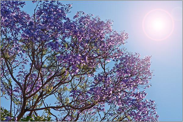 Jacaranda Blue - Martin Yates