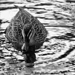 Duck du Jour - Richard Goodwin
