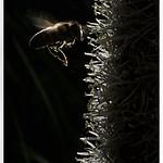 Bee on Blackboy - Hans Wellinger