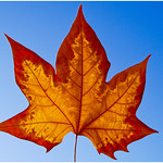 Sunlit Leaf - Ann Jones