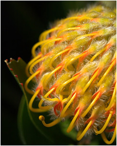 Yellow Protea - A Jones