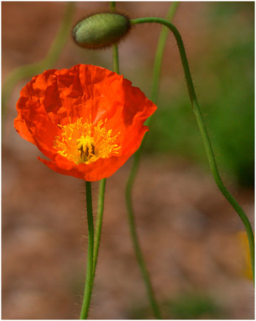 Orange Poppy - Ann Jones