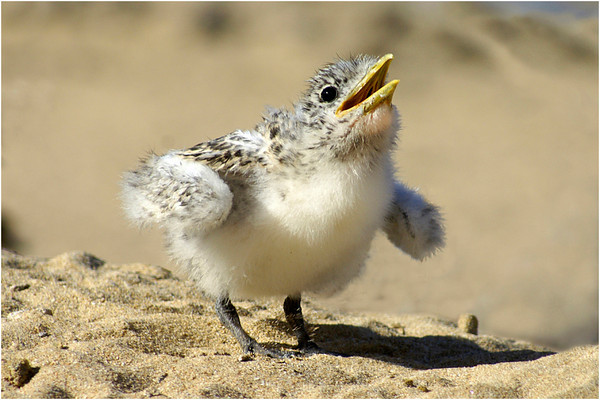 Baby Tern - Phil Burrows<br /> Second place members' choice.