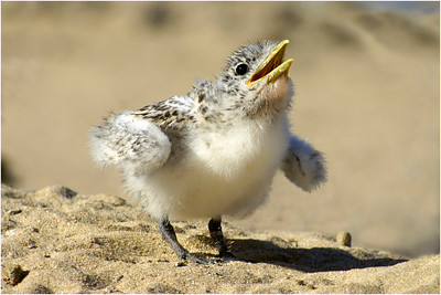 Baby Tern - Phil Burrows Second place members' choice.