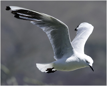 Gliding Gull - Richard Williams Fourth place members' choice.