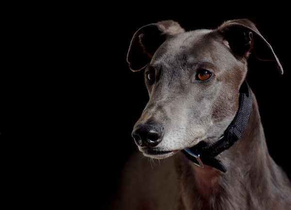 A greyhound Named Blue - Belinda Gault<br /> Equal third place judge's choice and first place members' choice.