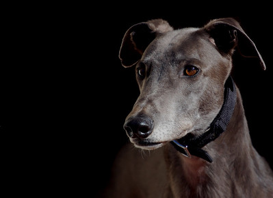 A greyhound Named Blue - Belinda Gault Equal third place judge's choice and first place members' choice.