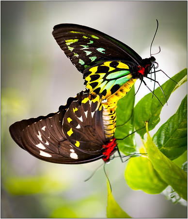 Butterfly Love - Ray Ross<br /> Second place members' choice.