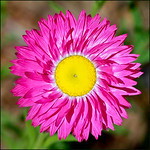 Wildflower - Richard Williams<br /> Equal fourth place members' choice.