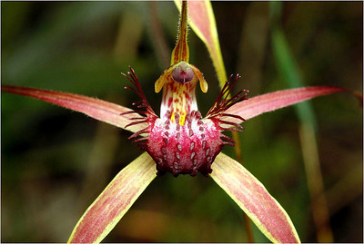 Spider Orchid - Bruce Finkelstein Equal fourth place members' choice.