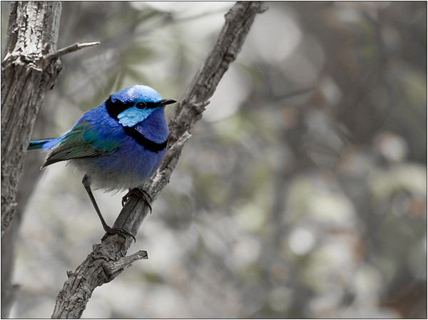 Juvenile Blue Wren - Sheila Burrow<br /> Judge's merit and equal first place members' choice - Set.