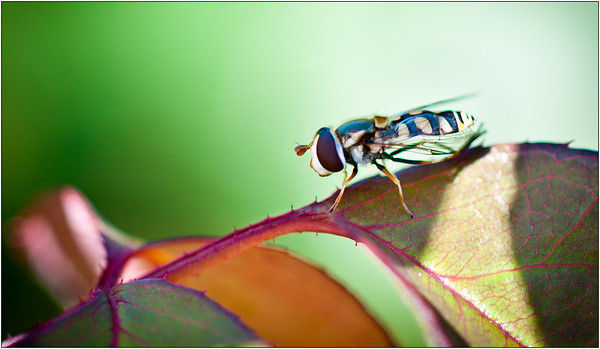 Hover Fly - Ray Ross<br /> Equal fourth place members' choice.