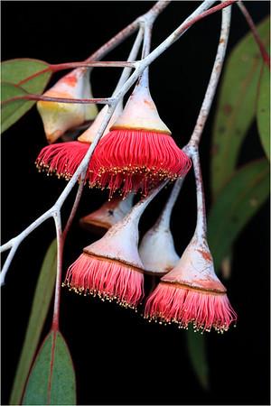 Flowering Gums - Richard Goodwin<br /> Second place judge's choice.