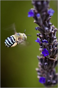 Blue Banded Bee - Sheila Burrow Second place members's choice - Set.