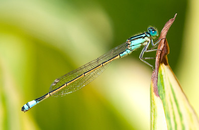 Damselfly - Ray Ross Equal fourth place members' choice and equal second place judge's choice - Set.