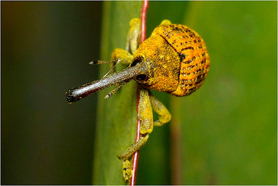 Elephant Weevil - Bruce Finkelstein Third place members' choice - Set.