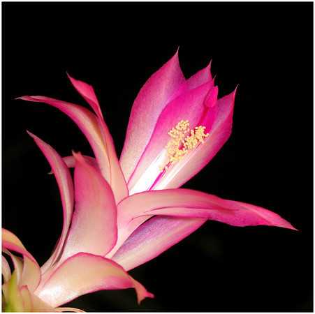 Pink Petals - Ann Jones<br /> Sixth place Members.<br /> Open.