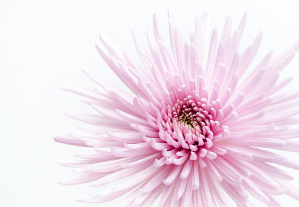 Mother's Day Chrysanthemum - Kim McAvoy<br /> First place Members' choice, Second place Judge's choice.<br /> Set
