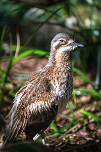 Bush Stone Curlew - Ray Ross Equal Fifth Members choice Open