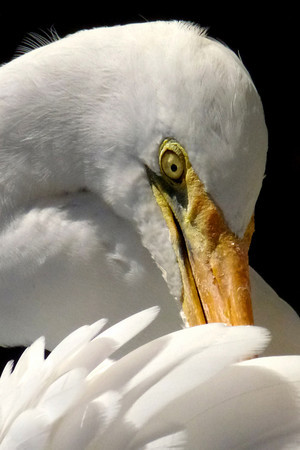 Preening - Phil Burrows<br /> First Members choice.<br /> Open