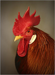 Little Red Rooster - Lee Bickford<br /> Members Choice - First place<br /> Set