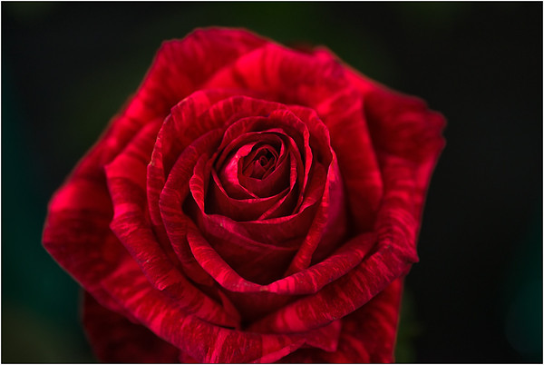 The Rose - Ray Ross<br /> Judges Choice - Second place<br /> Members choice - Fourth place<br /> Set