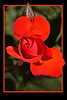Red Rose - Phil Burrows<br /> Third - Judges Choice<br /> Open