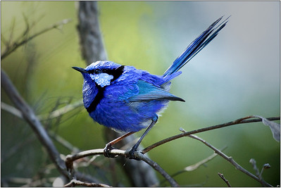 Splendid Wren - Sheila Burrow Second - Judges Choice, First - Members Choice.  Open