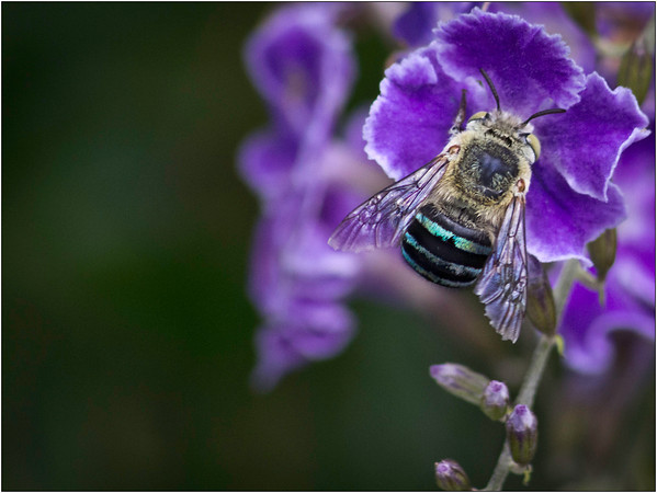 Blue Banded - Martin Yates<br /> Judge's merit, third place members' choice<br /> Set subject