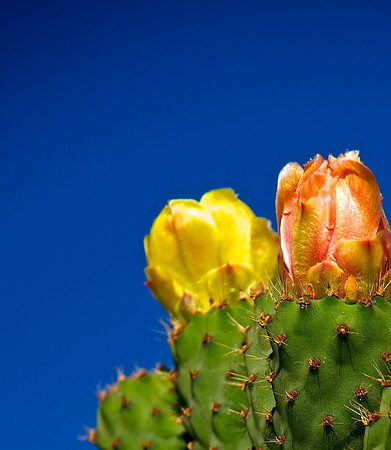 Prickly Pear Flower Buds - Max Clancy-Lowe<br /> Set subject