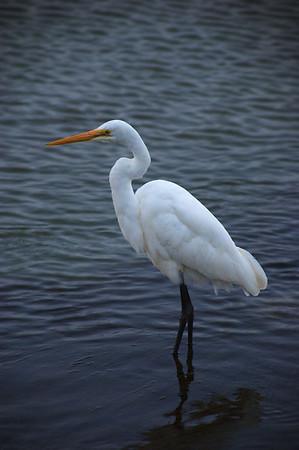 White Heron - Steve Crossley