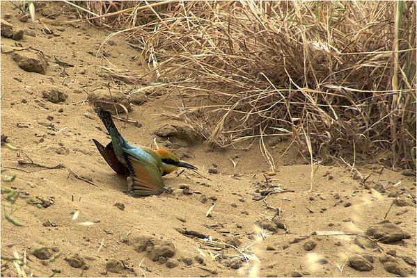 Rainbow Bee Eater - Bruce Finkelstein