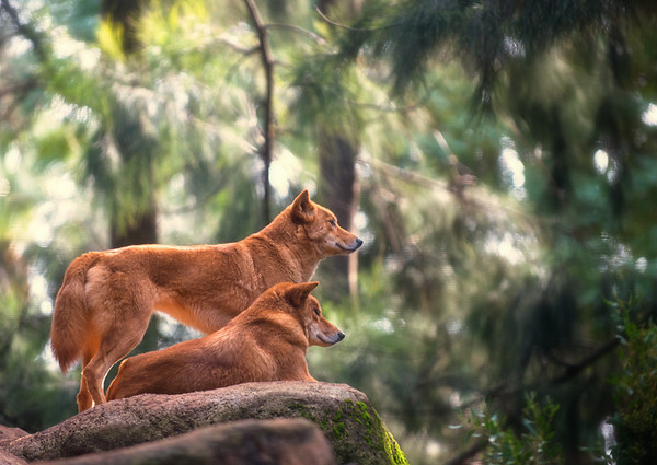 Dingo Duo - Ray Ross<br /> Sixth place members' choice<br /> Set subject