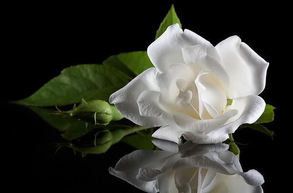 White Rose - Stan Bendkowski<br /> First place Judge's Choice<br /> First place members' Choice