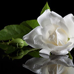 White Rose - Stan Bendkowski<br /> First place Judge's Choice<br /> First place members' Choice