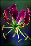 Gloriosa - Sheila Burrows<br /> First place members' choice