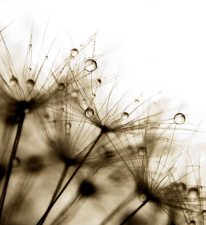 Wet Dandelion - Kim McAvoy<br /> Equal first place judge's choice and first place members' choice.