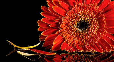 Gerbera - Stan Bendkowski First place members' choice