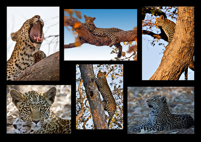 Leopard Story - David Sargeant Set - Fourth place Members' choice