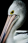 Portrait of a Pelican - Kim McAvoy
