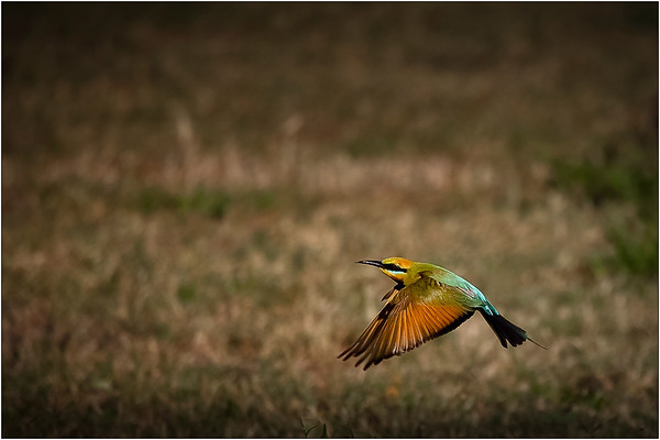 Rainbow Bee Eater - Sheila Burrow<br /> Open - First place judge's choice and third place members' choice.